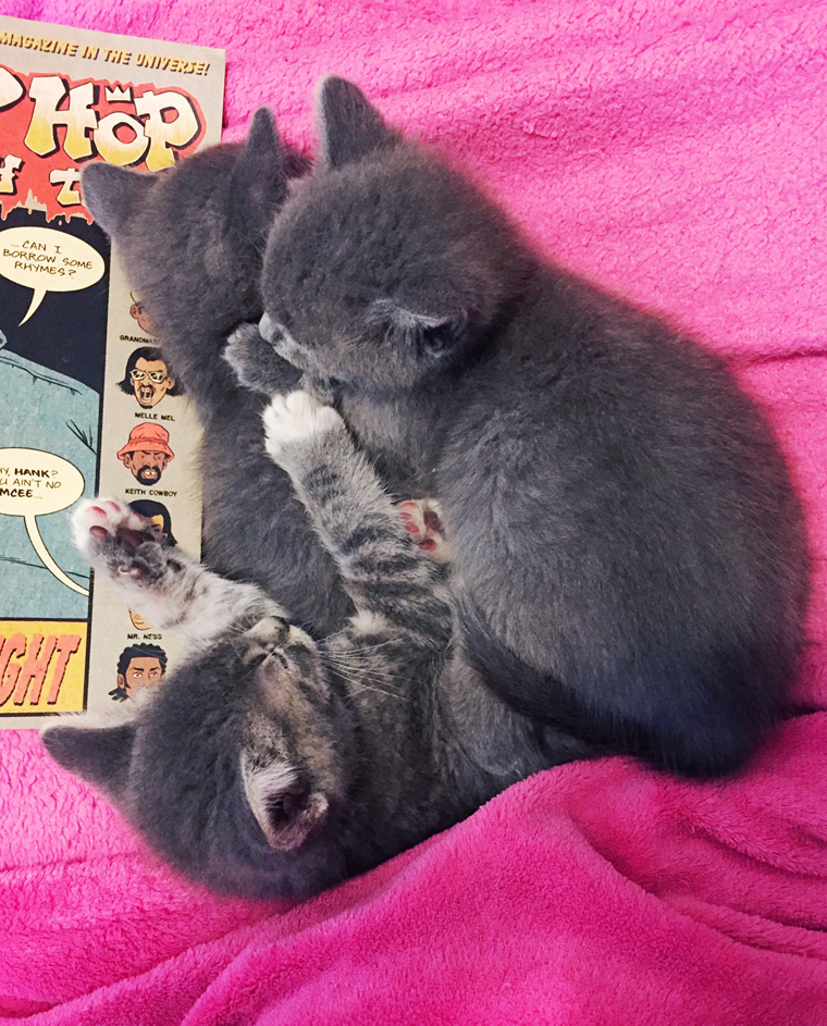 grey foster kittens