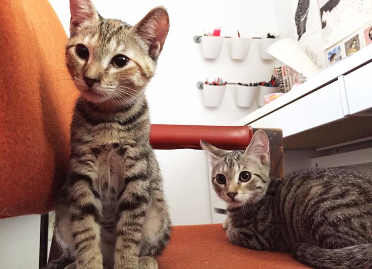 tabby kitten brothers